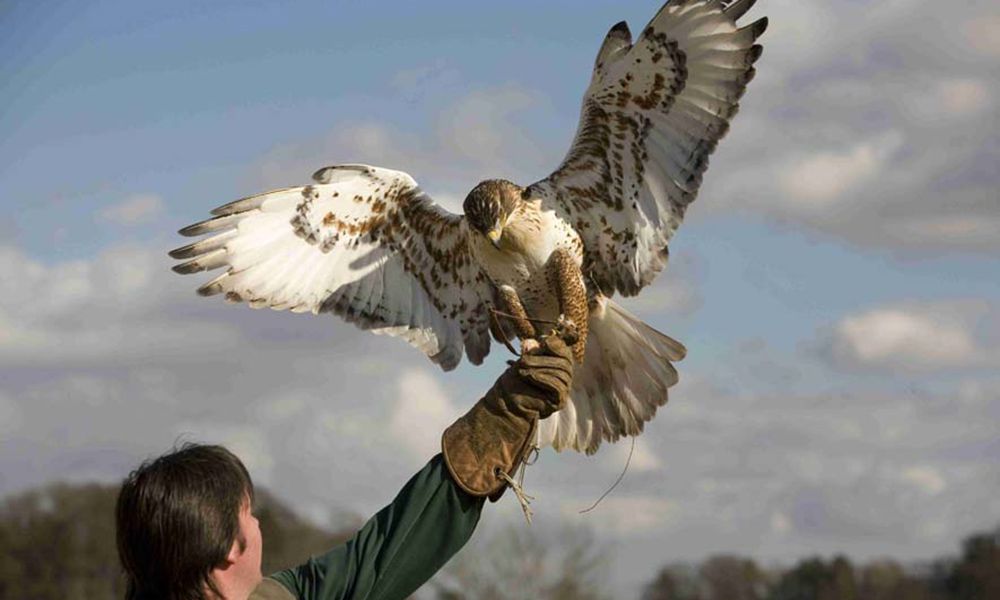 Falconry Session